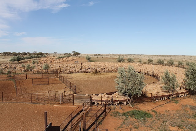 sheep, sheep and more sheep  shearing Australia