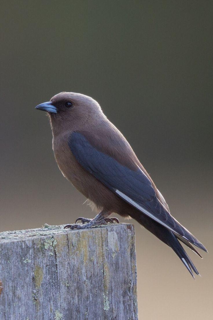 458 best birds ii images on pinterest beautiful birds magpie