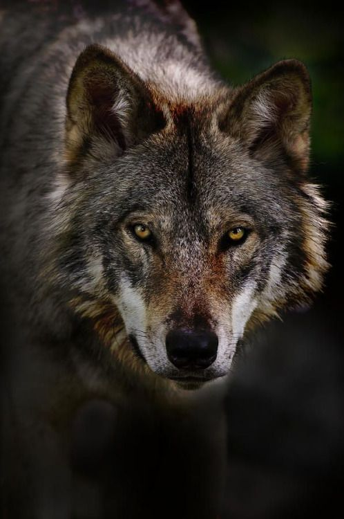 Wolf - and not a happy one at that!