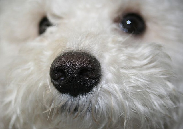Resultado de imagen para bichon frise nose