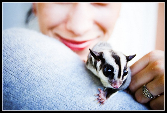 311 best sugar gliders images on pinterest sugar gliders sugar bears and exotic animals. Black Bedroom Furniture Sets. Home Design Ideas