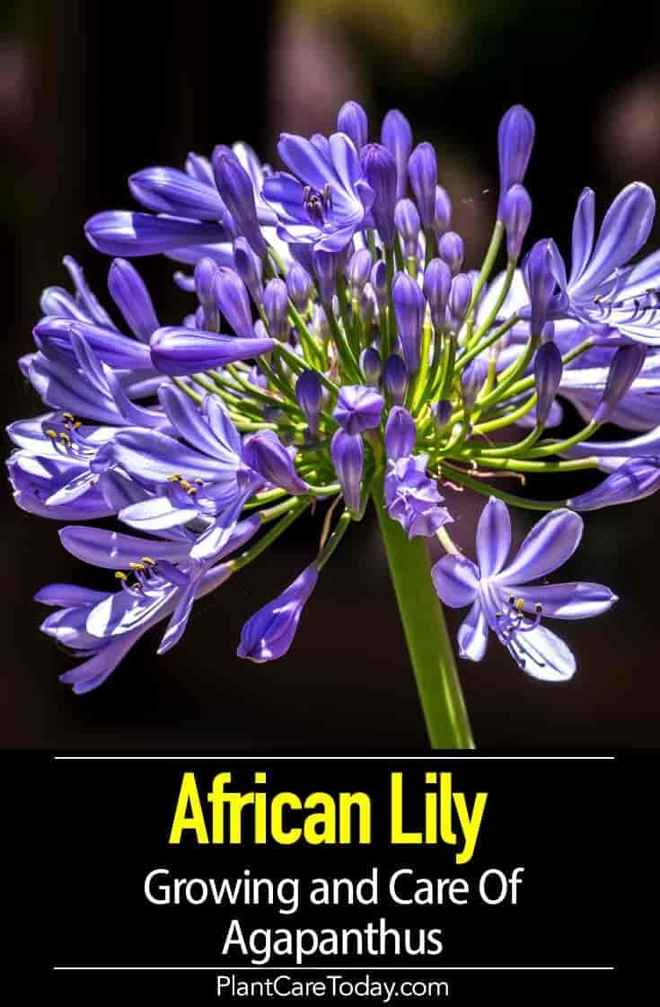 Agapanthus Blue How To Care For African Lily Of The Nile In 2020 African Lily Agapanthus Plant Agapanthus