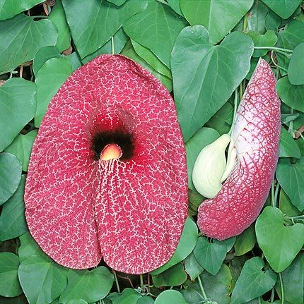 430x431xjpg Aristolochia gigantea.jpg.pagespeed.ic.kkumSwiL8S