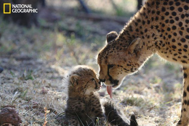Mother cheetah cleaning her baby after a meal. (Photo and caption Courtesy Diana Lakeland
