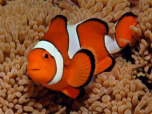 Finding Nemo Clownfish Most Popular Saltwater Aquarium Fish