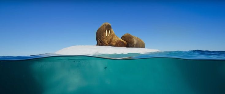 """Wow! The trailer for Blue Planet II: The Prequel has just been released. Narrated by Sir David Attenborough and set to an exclusive track developed by Hans Zimmer and Radiohead. """"New science and new technology allow us to voyage further and deeper than ever before"""",Sir David Attenborough Blue Planet II will air on BBC One later this year."""