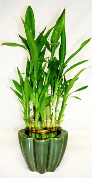how to make lucky bamboo arrangements