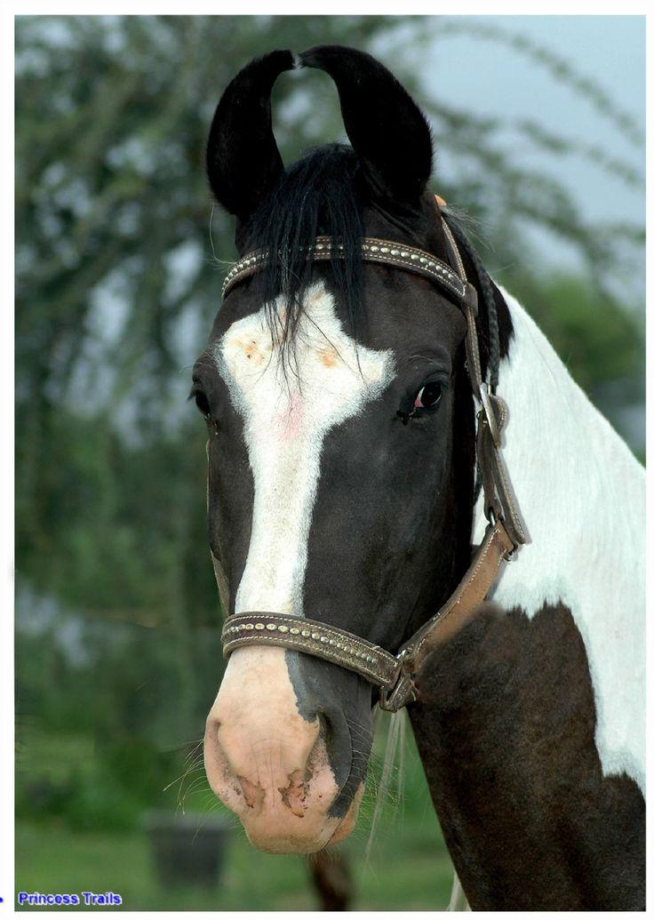 marwari pferde   Bilder der Marwaripferde   Marwari ...