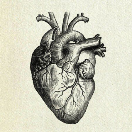 I actually can find the resemblance between the real heart and the one everybody drawes.