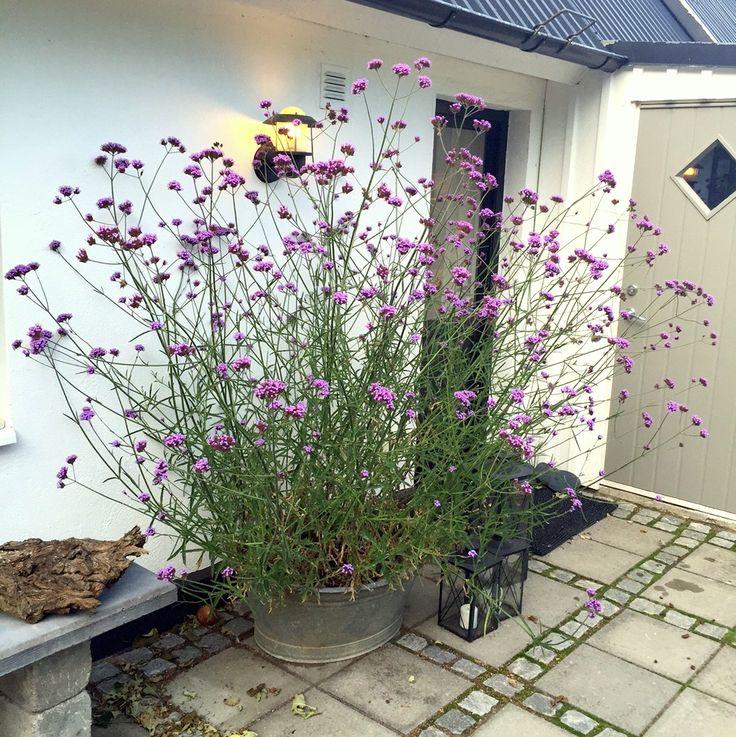 En blogg om min skånska trädgård med växthus och med fokus på blommor, blommor, blommor!