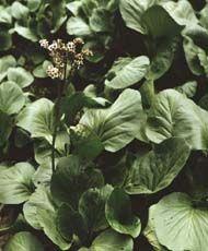 Бадан толстолистый Внешний вид: Бадан толстолистный — вечнозеленое, невысокое травянистое растение с толстым, длинным, ветвистым ползучим корневищем. Листья кожистые, темно-зеленые, с длинными черешками, прикрепленными к корневищу, собраны в розетку. Подзем
