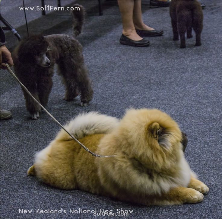 Chow Chow dog.        Blackhawk Dogs New Zealand's National Dog Show. ... 20  PHOTOS        ... Over 1500 of New Zealand's top dogs came from all parts of the country to compete during three days for the ultimate prize of Best In Show.        More details:         http://softfern.com/NewsDtls.aspx?id=1135&catgry=7            photos, SoftFern News, SoftFern photos, photos by SoftFern, Sergiy Bondar, SoftFern Auckland News, New Zealand News, Auckland, New Zealand's National Dog Show, Blackhawk…