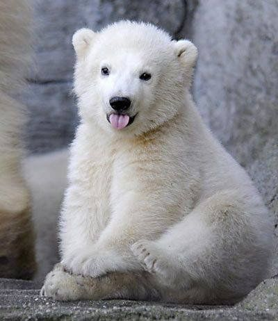 Cutest Polar Bear Cub Sitting