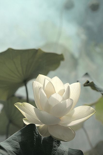 Lotus Flower // photo by Bahman Farzad, 2011