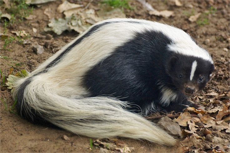 Striped skunk | by Foto Martien (thanks for over 20 million views)