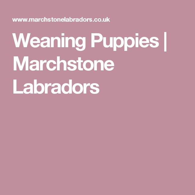 Weaning Puppies | Marchstone Labradors