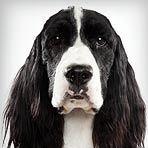 English Springer Spaniel : Dog Breed Selector : Animal Planet