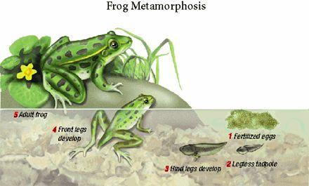 cool frog life cycle stuff