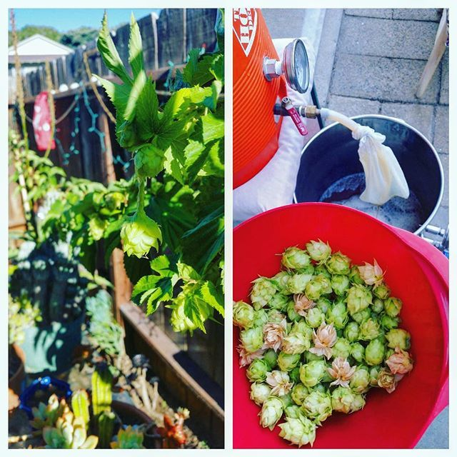 #FBF Flashing back to when we harvested some home grown hops and put them in some home brewed beer 👌😎🍻 . As most of you know the #GABF is going on, but for those not lucky enough to go, there is still plenty going on in San Diego. On Saturday the Gulls hockey season kick off party is going down @baycitybrewing and on Sunday @greenflashbeer is having their Oktoberfest celebration. Remember to check the events page on our site (link in bio) for all the best happenings around San Diego 🍻…