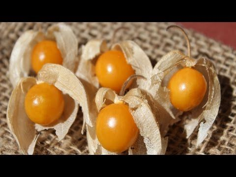 Golden Berry Plant, High in Antioxidants and Unique Plant Compounds - YouTube
