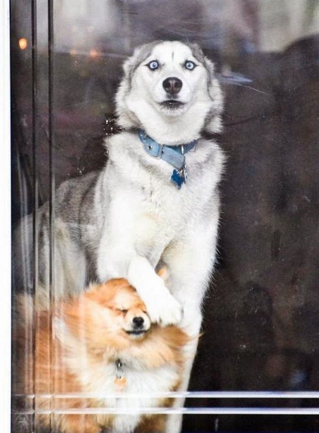 15 pictures showing the wonderful resourcefulness of Huskies