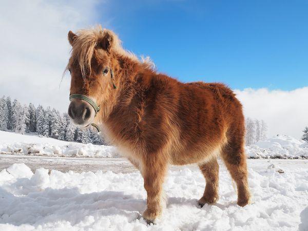 """Pony """"Volli"""" (farm #Tiefentalhof in Welsberg/Taisten)"""