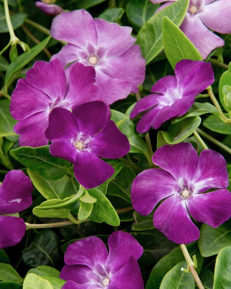 The unique deep purple to magenta colored blossoms of the Wine Common Periwinkle makes it perfect for planting beneath tree canopies or cascading over a low wall or container. Zone: 4 - 9  #MonroviaPlants #GrowBeautifully #Periwinkle #Vincaminor #vinca