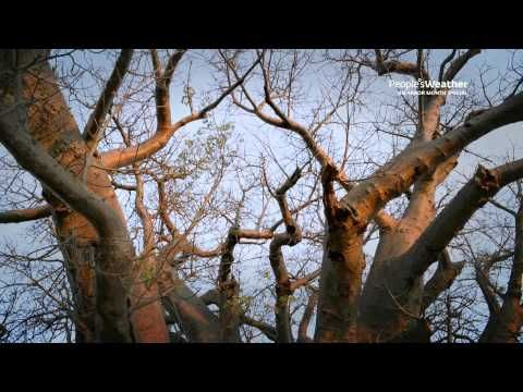 Gorgeous filming of these extraordinary trees,  Dr Sarah Venter in this one minute video clip tell us about unusual and fascinating facts about the Champion Tree of Africa, The Sagole Baobab - on The People's DSTV Channel from their series Tree Stories on YouTube