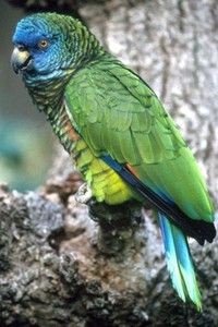 vogel foto: Sint lucia amazone