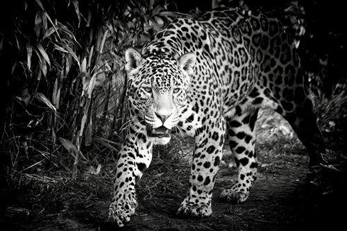Black and White Jaguar Art Print on CanvasWall Decor Poster 24x36 inches