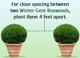 Factors to Consider While Planting Winter Gem Boxwoods                                                                                                                                                                                 Más