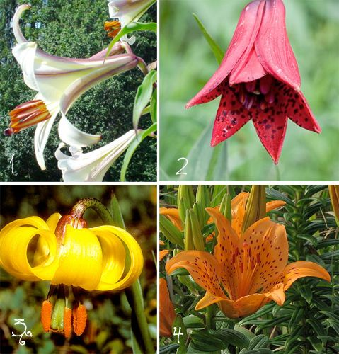 Lily Type Plants: 62 Best Scented Garden Plants Images On Pinterest