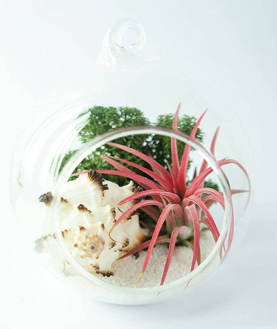 Air plant terrarium kit with ionantha  hanging glass orb