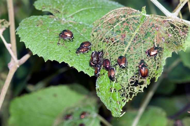 How to get rid of Japanese beetles naturally. Just plant some plants that repel them: catnip, rue, larkspur, cloves, garlic, tansy, and geranium.
