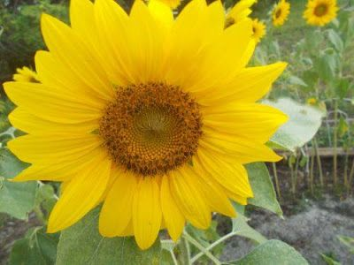 http://writewithfey.blogspot.com/2015/07/my-sunflowers.html?showComment=1437669171196