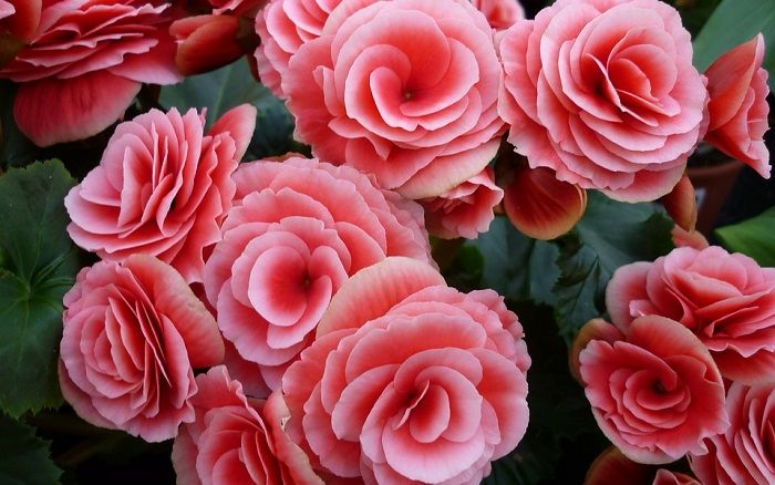 Begonia Flower Meaning Symbolism And Colors Tuberous Begonia Perennial Flowering Plants Begonia