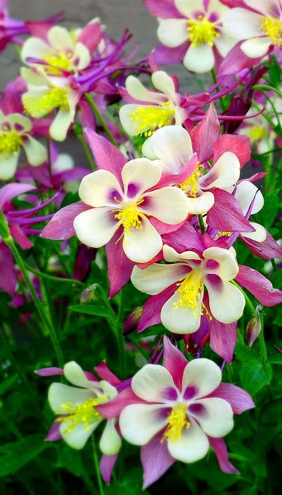 ❀ ✿༻ Passion for FLOWERS ❀ Columbines