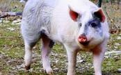 Jigsaw escapes a hog farm and finds a home at an Oregon sanctuary!