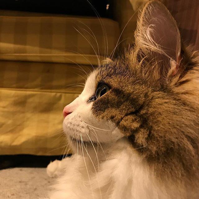 #cat#pet#instagram#instacat#instaphoto#photo#노르웨이숲#고양이#냥이#펫#猫#ねこ#펫스타그램#냥스타그램#ペット#愛猫#写真好きな人と繋がりたい