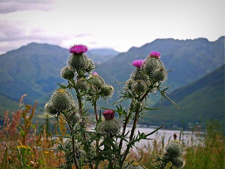 thistle Scottish thistle, Scotland national flower, Scotland