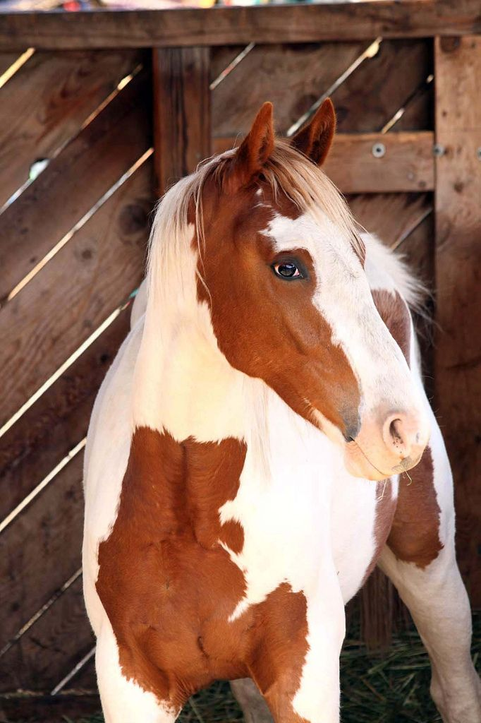 Horses - Pinto or paint horse.
