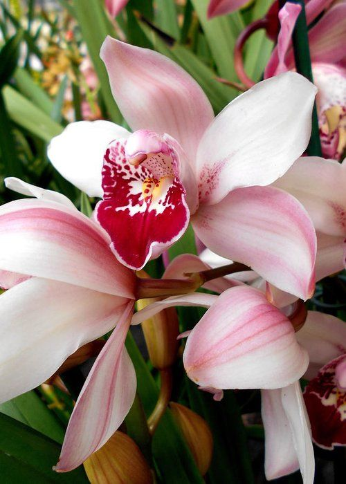 Light Pink Cymbidium Orchid Greeting Card featuring the photograph Light Pink Cymbidium Orchid by Erika H