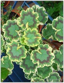 Zonal Geranium foliage