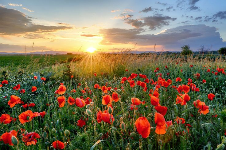 Poppies field flower at sunset by Tomas Sereda on 500px