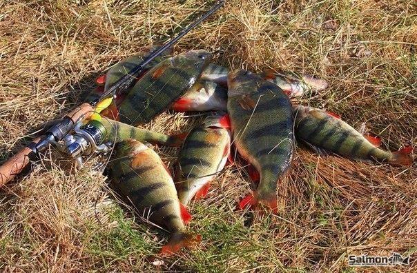 Окунь  Речной окунь является одним из популярных объектов любительского рыболовства. Окунь меньше боится шума, чем другие виды рыб. Эта рыба отличается жадностью и смелостью Окунь ловится с помощью разнообразных снастей: поплавочная удочка, спиннинг, донная удочка, дорожка, нахлыст, кружки, отвесное блеснение.Наиболее популярными из вышеперечисленных способов являются ловля поплавочной удочкой и спиннигом.  Ловля окуня  Ловля на поплавок  При поплавочной ловле наиболее подходящим считается…