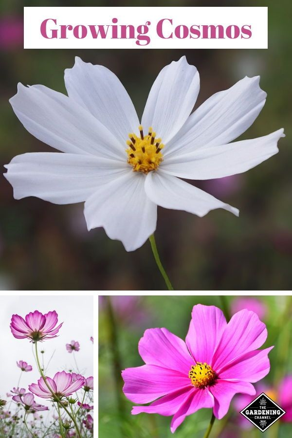 How To Grow Cosmos Flower Garden Summer Flower Arrangements Gardening Tips