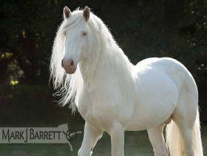 Horse / American Albino