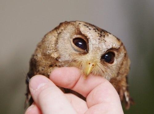 Awwl: Photos, Aww, Animals, Sweet, Baby Owls, Pet, Adorable, Birds, Hoot