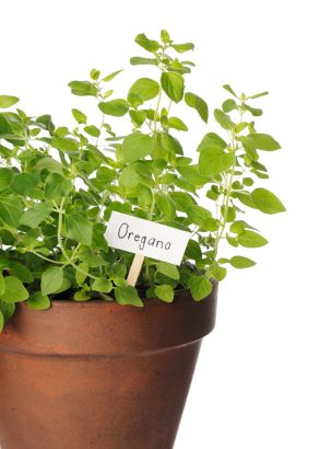 arvest leaves as needed. Oregano is most flavorful just before the flowers bloom. Be sure not to harvest more than 1/3 of the leaves at a time. Unlike many other herbs, oregano leaves taste better (stronger) dried than fresh.