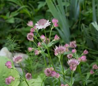 "Astrantia major ""Roma"""